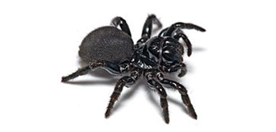 거미 독이 뇌손상을 예방한다?