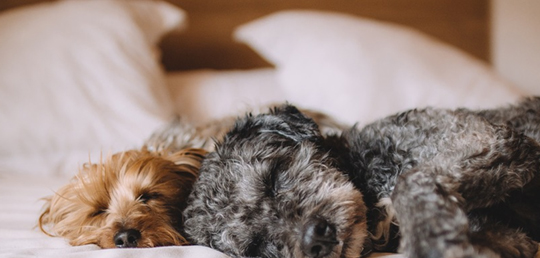 개와 함께 자는 것은 수면에 이로울까